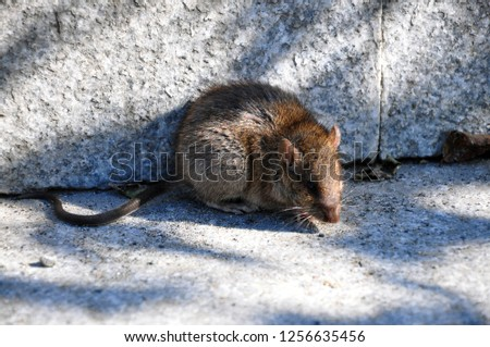 The rat is sitting on the ground. Close up.