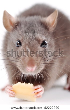 the rat with cheese on a white background