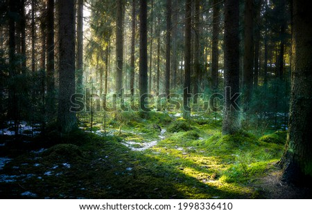 The rays of the sun in the forest thicket. Mossy forest sunbeams. Sunbeams in mossy forest. Green moss forest sunbeams view