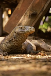 The real face of the living dragon, komodo is the biggest lizzard on earth, its could smells blood from miles.