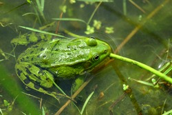 The real frog (lat. Ranidae) is a family of tailless amphibians.