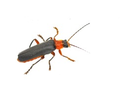 The red and black soldier beetle Cantharis pellucida isolated on white background