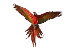 The red-and-green macaw (Ara chloropterus) bird in flight.