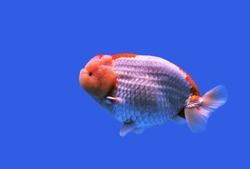 The red and white gold fish on isolated blue background. Carassius auratus, Lionhead goldfish is one of the most popular ornamental fish.