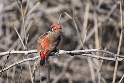 The red avadavat (Amandava amandava), red munia or strawberry finch, is a sparrow-sized bird of the family Estrildidae. It is found in the open fields and grasslands of tropical Asia