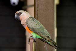 The red-bellied parrot (Poicephalus rufiventris) is a small African parrot. It is a mostly greenish and grey parrot. Males have a bright orange belly and females have a greenish belly.