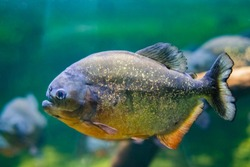 The red-bellied piranha, also known as the red piranha (Pygocentrus nattereri), is a species of piranha native to South America, found in the Amazon, Paraguayand coastal rivers of northeastern Brazil.