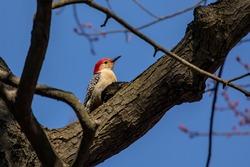 The red-bellied woodpecker - male.  Medium sized  American woodpecker.