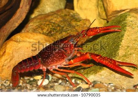 stock-photo-the-red-crawfish-in-aquarium