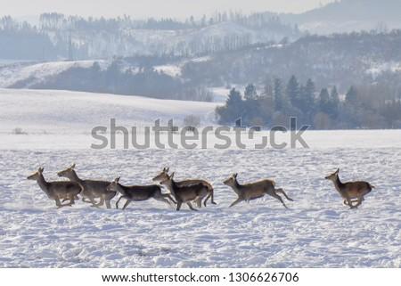 The red deer (Cervus elaphus) is one of the largest deer species. Running herd of red deers in deep snow during freezing winter day. Cervus elaphus montanus, Carpathians, Slovakia. #1306626706