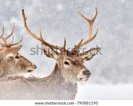 The red deer (Cervus elaphus) outdoor in winter