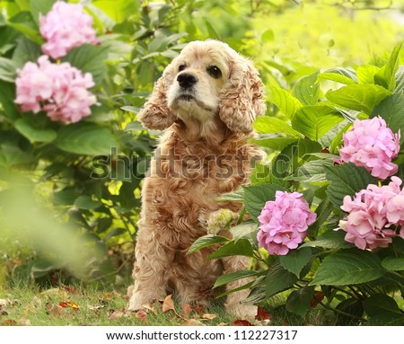 The red dog of breed an English cocker a spaniel sits in a garden on a green grass under a green bush with pink flower Hydrangea serrata