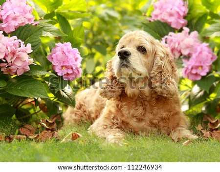 The red dog of breed an English Cocker Spaniel sits in a garden on a green grass under a green bush with pink flower Hydrangea serrata