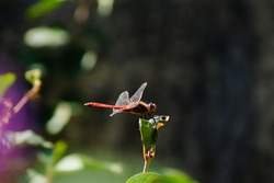 The red dragonfly is sitting still