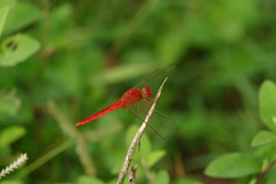 The Red Dragonfly perched on a branch , also known as Red-Veined Darter or Nomad is technically known as Sympetrum Fonscolombii, and belongs to the Sympetrum genus. Insect theme background