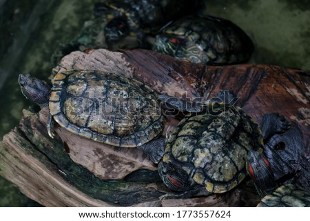 The red eared slider  known as the red eared terrapin, red eared slider turtle, red eared turtle, slider turtle, and water slider turtle
