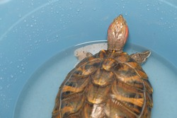 The red-eared turtle sits in a blue plastic basin in which a drop of water is added to it