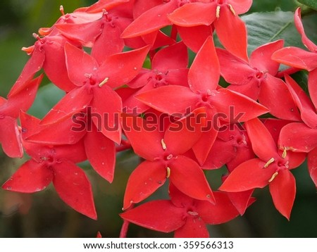 the red flowers, Rauvolfia serpentine #359566313