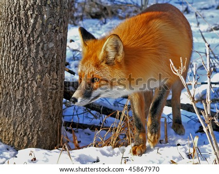 The red fox stands at  a tree. Watchful look. Winter and snow.