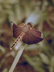 TheRed Grasshawk,Common Parasol, orGrasshawk dragonfly (Neurothemis fluctuans) is a species ofdragonflyin the familyLibellulidae. The male has a brownish-red thorax and abdomen.