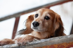 The red-haired dog has put its front paws on the crossbar and is looking at the camera. The dog is shaggy, not pedigree, of medium size. The frame is made close-up.
