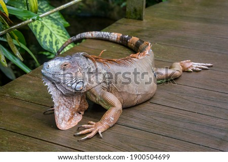 The Red Iguana(Iguana iguana) closeup image.  it actually is green iguana, also known as the American iguana, is a large, arboreal, mostly herbivorous species of lizard of the genus Iguana. Zdjęcia stock ©