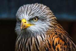 The red kite, milvus milvus is a medium-large bird of prey in the family Accipitridae, which also includes many other diurnal raptors such as eagles, buzzards, and harriers.