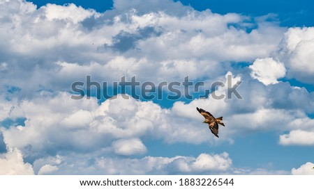 The Red Kite shows that he is at home in the sky, they hardly ever touch the ground. ストックフォト ©