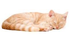The red kitten of breed  Scottish straight
