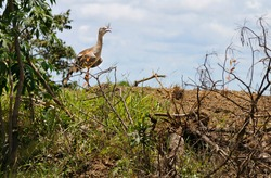 The red-legged or seriema, Cariama cristata, or the crested cariama, crested seriema, in its natural habitat. This bird is a mostly predatory terrestrial in the seriema family Cariamidae. GO, BR, 2016