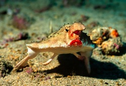 The red-lipped batfish or Galapagos batfish (Ogcocephalus darwini) is a fish of unusual morphology found around Galapagos islands and Cocos Island. Shot near Wolf Island at the depth of 46 meters.