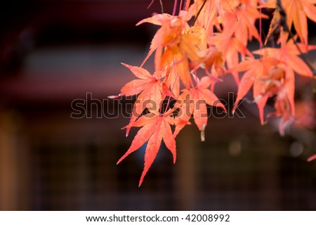 The red maple trees in Japanese garden with temple background