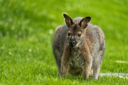 The red-necked wallaby or Bennett's wallaby (Macropus rufogriseus) is a medium-sized macropod marsupial (wallaby), common in the more temperate and fertile parts of eastern Australia. Green bokeh.