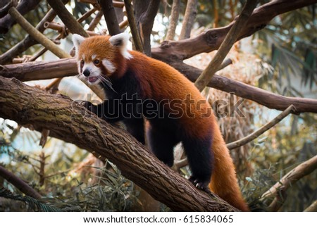 Stock Photo The Red Panda