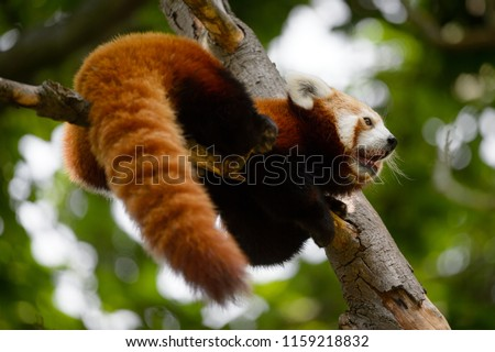 Stock Photo The red panda (Ailurus fulgens), also called the lesser panda, the red bear-cat, the red cat-bear, and the firefox is a mammal native to the eastern Himalayas and southwestern China