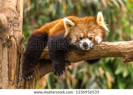 The red panda is a mammal native to the eastern Himalayas and southwestern China.  The wild population is estimated at fewer than 10,000 mature individuals and continues to decline due to habitat loss