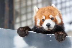 The red  panda or lesser panda. Asahiyama zoo asahikawa-city hokkaido,Japan