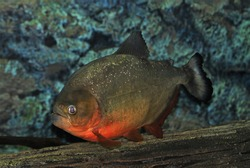 The Red piranha (Red-bellied piranha) in freshwater aquarium. Pygocentrus nattereri  is a freshwater fish in  family Serrasalmidae that inhabits Amazon basin, South American rivers.