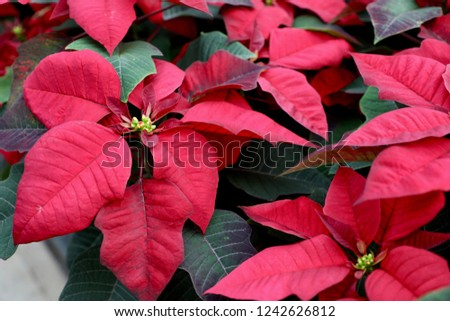 The Red Poinsettias