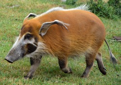 The red river hog also known as the bush pig (but not to be confused with P. larvatus, common name