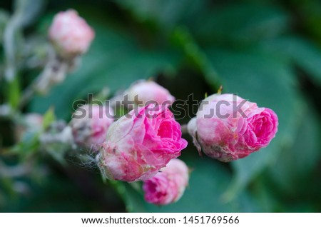 The Red rose flower blooming in roses garden on background green foliage. #1451769566