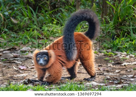 The red ruffed lemur (Varecia rubra) is an endangered species of ruffed lemur, one of two which are endemic to the island of Madagascar.