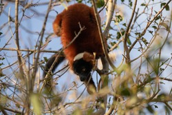 The red ruffed lemur (Varecia rubra) is one of two species in the genus Varecia