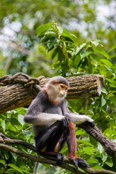 The red-shanked douc (Pygathrix nemaeus), s a species of Old World monkey, among the most colourful of all primates, an arboreal and diurnal monkey that eats and sleeps in the trees of the forest.