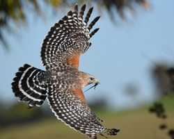 The red-shouldered hawk is a medium-sized hawk. Its breeding range spans eastern North America and along the coast of California and northern to northeastern-central Mexico. Red-shouldered hawks are p