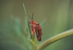 The red soldier beetle. Photo taken in Co Louth, Ireland