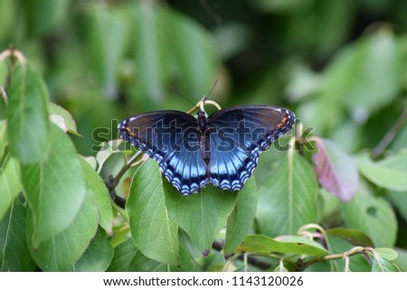 The red-spotted purple Butterfly