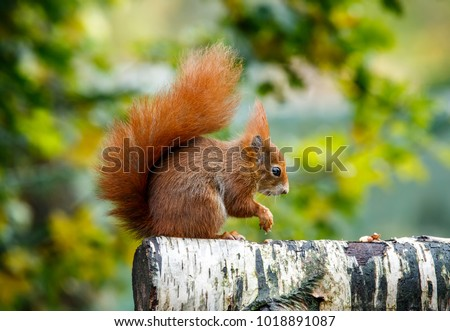 Shutterstock The red squirrel or Eurasian red squirrel is a species of tree squirrel in the genus Sciurus common throughout Eurasia. The red squirrel is an arboreal, omnivorous rodent.
