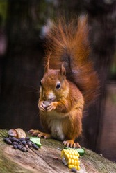 The Red squirrel or Eurasian red squirrel (Sciurus vulgaris) is not a threatened species, populations  have decreased drastically over the years due to habitat loss and competition with grey squirrel