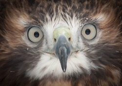 The Red-Tailed Hawk gives an intense stare into the camera as it is always curious.